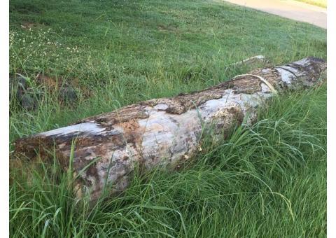 Free huge log for firewood